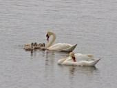 IMG_2177 Swan feeding Cynets