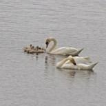 IMG_2178 Swan feedi9ng Cygnets