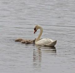 IMG_2183 Swan feeding Cygnets