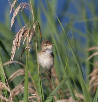 IMG_2235 Reed Warbler singing