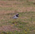 IMG_2303 Ring Plover