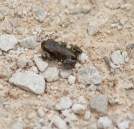 IMG_2321 Common toadlet 19th June 2016