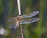 IMG_2389 Black-tailed Skimmer