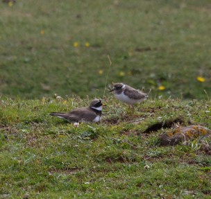 IMG_2441 Ring Plover young and adultpg