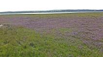 IMG_20160714_085643436 Sea Lavender