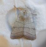 IMG_2064 Treble Lines Moth