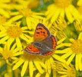 IMG_2662 Small Copper on Ragwort