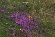 IMG_2696 Wild Thyme