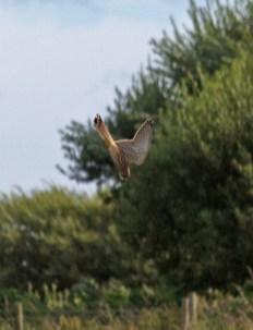 IMG_2758 Kestrel on final approach