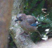 IMG_2882 Young Jay at Gillies woods