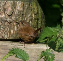 IMG_2919 Young Wren of 2016