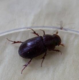 IMG_3102 Dor Beetle