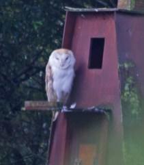 IMG_3265 Barn Owl on Barn Owl Box