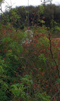 cow-eating-rosehips-4