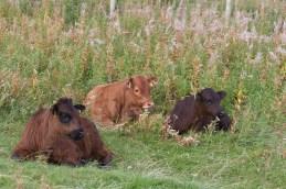 img_3317-three-innocent-calves
