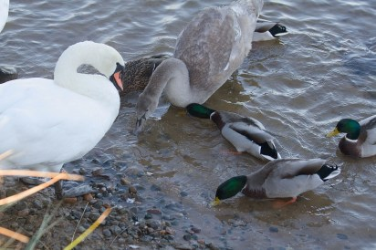 img_3351-ducks-and-swans-eating-the-feed