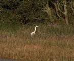 img_3352-large-white-egret-on-long-pond