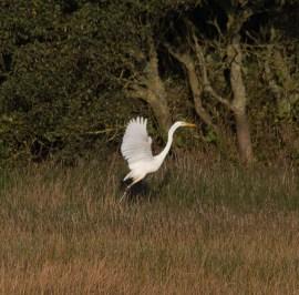 img_3355-large-white-egret-on-long-pond