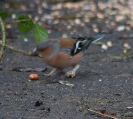 img_3458chaffinch-with-fungus-on-leg