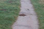 img_3492-mole-tunnelled-through-path