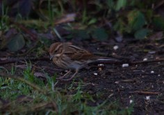img_3505-female-reed-bunting