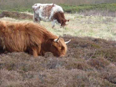P1010771 Highland Cow eating heather