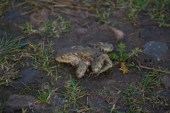 IMG_3786 Dead toad looks normal - Copy