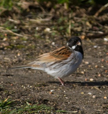 IMG_3928 Male Reed Bunting - Copy