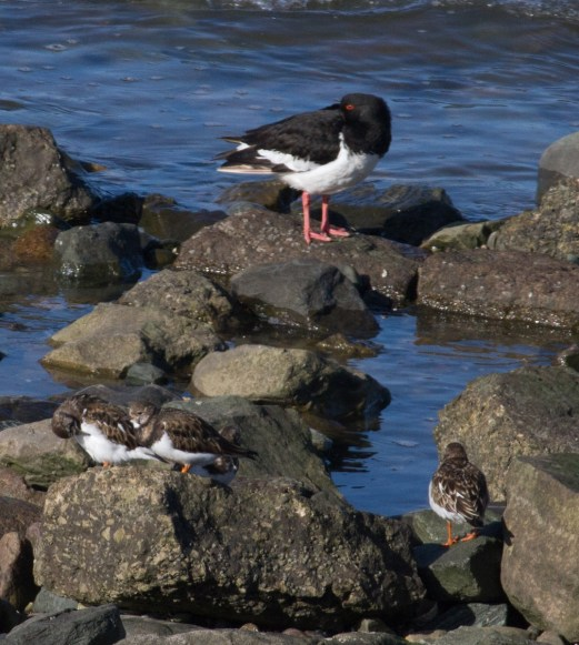 IMG_3940 Resting Oystercatcher and Turnstones - Copy