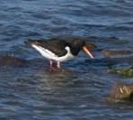 IMG_3941 Wading Oystercatcher
