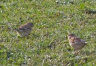 IMG_3982 Linnets copy