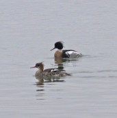 IMG_4020 Pair of Mergansers