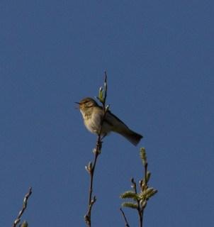 IMG_4055 Willow Warbler singing