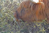 IMG_4148 Highland Cow eating Willow Blossom - Copy