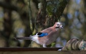 IMG_4182 Jay at the feeders - Copy