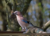 IMG_4185 Jay at the feeders - Copy
