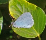 IMG_20170504_154330436 Male Holly blue - Copy