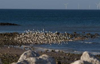 IMG_4265 Flock of Waders - Copy