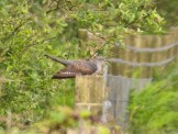 IMG_4467 Female Cuckoo