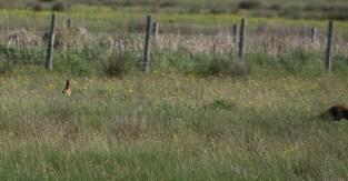 IMG_4530 Pheasant lucky escape - Copy