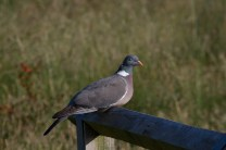 IMG_4812 Woodpigeon on fence - Copy