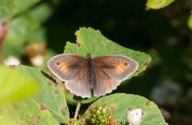 IMG_5032 Meadow Brown (male) - Copy