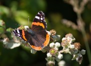 IMG_5053 Red Admiral N End 17th July 2017 - Copy