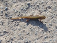 Common Lizard - Copy