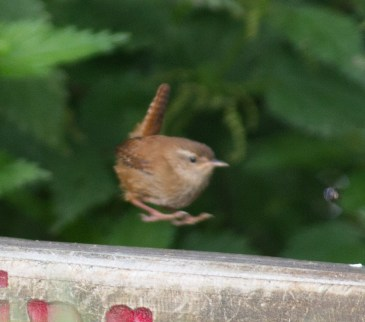 IMG_5266 Young Wren - Copy