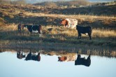 IMG_5551 Cow Reflection - Copy