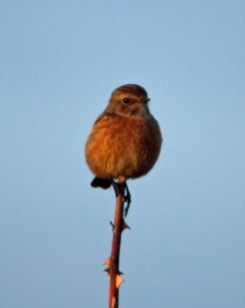 IMG_5567 Female Stonechat 29th Oct 2017 - Copy