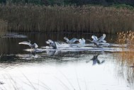IMG_5574 Six Cygnets landing on fishing pond 29th Oct 2017 - Copy