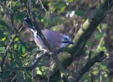 IMG_5593Jay at feeders Nov 2017 cropped