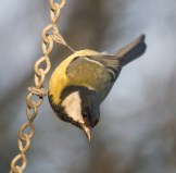 IMG_5639 Great Tit at feeders 1st Dec 2017 - Copy